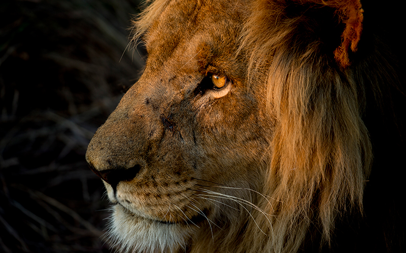 Watch the sun rise in the eyes of the magnificent lion