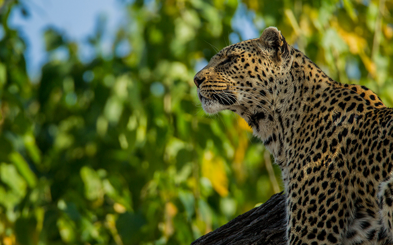 The leopard makes frequent journeys around Zarafa Camp, allowing spectacular viewing for guests