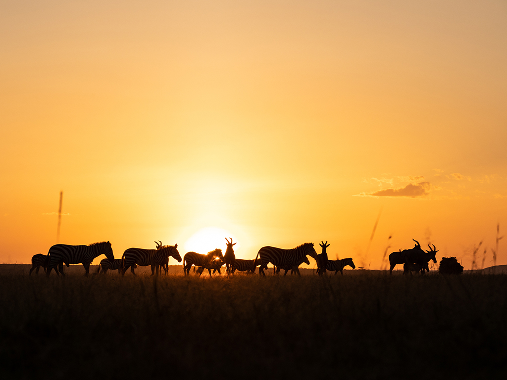 great-plains-conservation-mara-expedition-zebra-topi-sunset