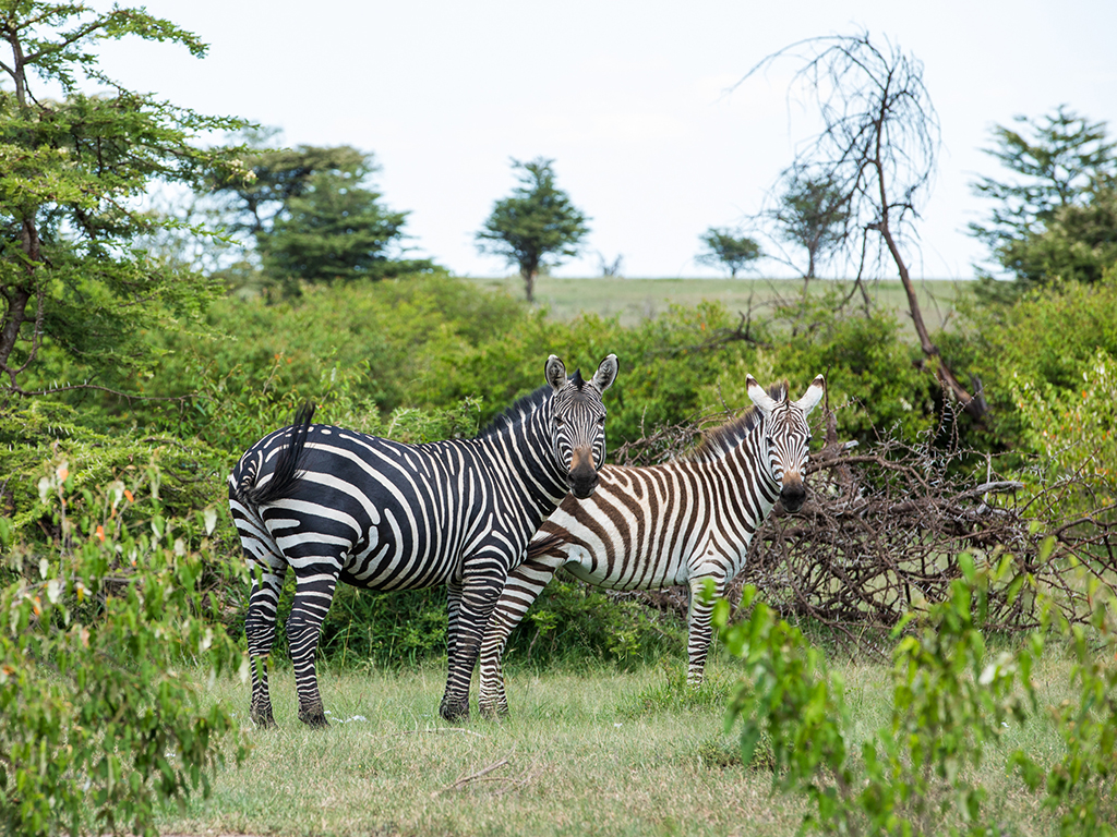 great-plains-conservation-mara-expedition-zebra