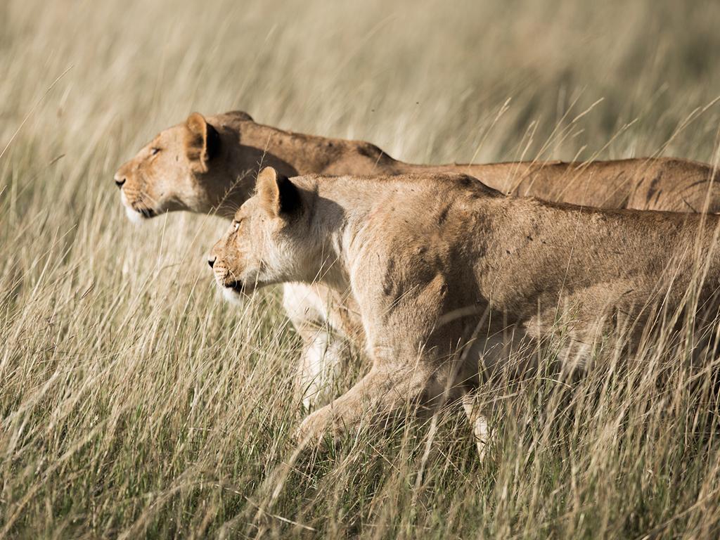 Lions of Great Plains Conservation