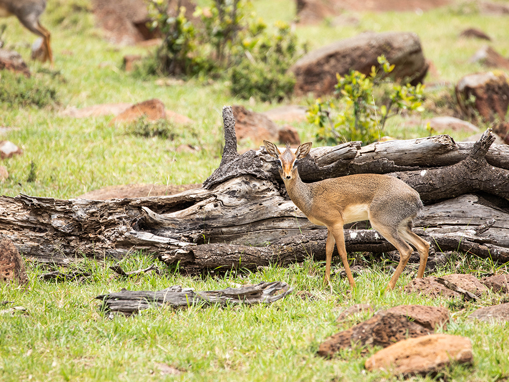 great-plains-conservation-mara-nyika-dikdik