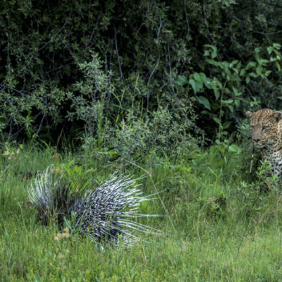 Punctured leopard and porcupine. – Beverly Joubert