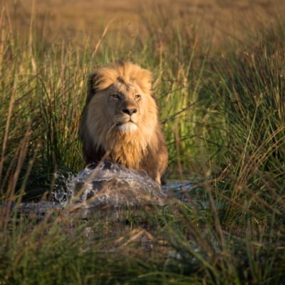 The Tsaro pride male walking through the Okavango Delta, an example of the unique photographic opportunities available at Duba