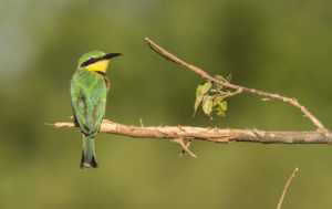 Little bee-eater Duba