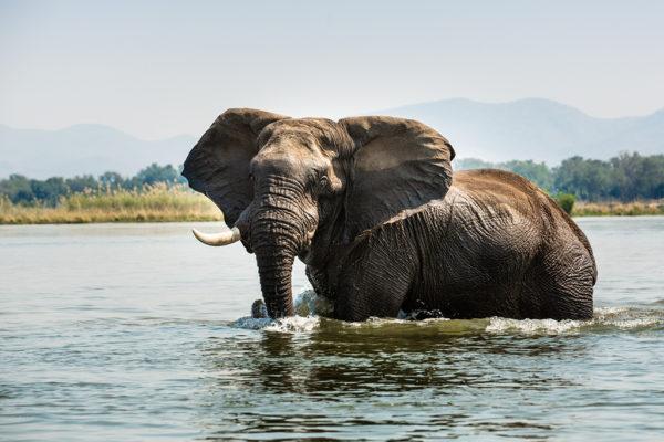 2019-great-plains-sapi-springs-camp-elephant