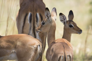 Newborn impala green season Selinda