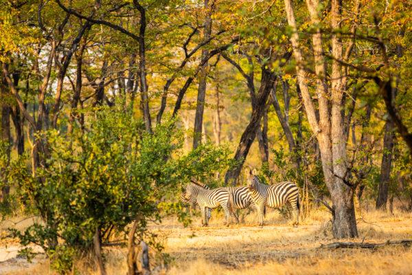 2019-great-plains-sapi-springs-camp-zebra