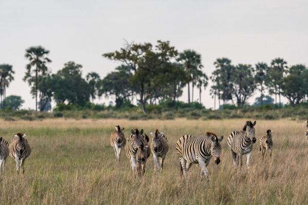 great-plains-conervations-xigera-zebra-walking