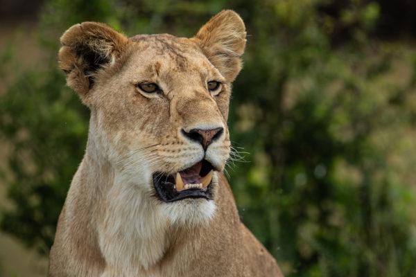 great-plains-conservation-safari-pioneers-mara-plains-1