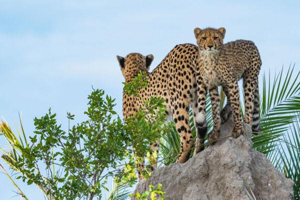 great-plains-conervations-xigera-cheetah