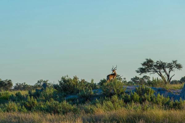 great-plains-botswana-expeditions-impala
