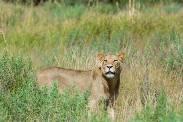 great-plains-botswana-expeditions-lioness